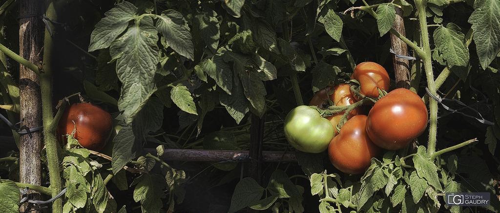 Pomodoro, figlio del sole
