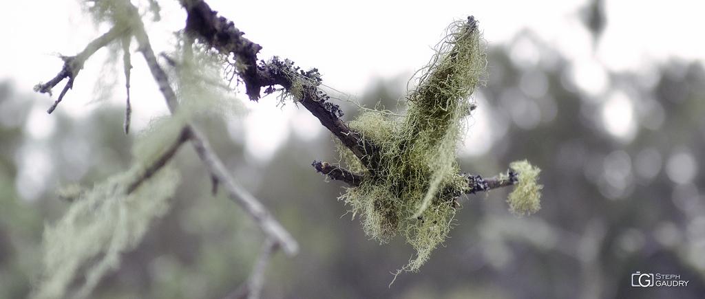 Cheveux de sorcière dans les vieux pins