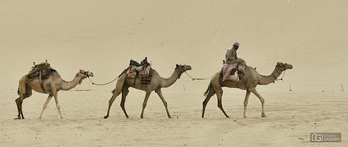 L'hirondelle ne fait pas le printemps, mais le chameau fait le désert.