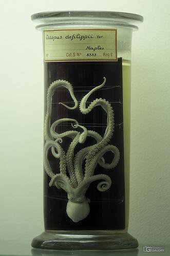 Octopus defilippi Ver.