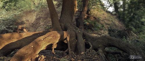 Les bois de la Chartreuse - coucher de soleil sur les racines