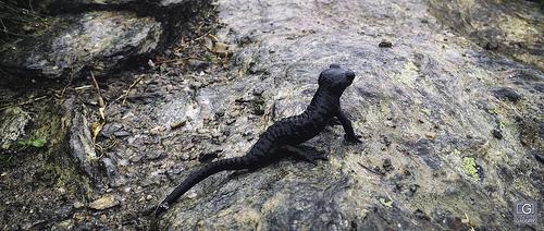 Salamandre - 2015_08_01_113344