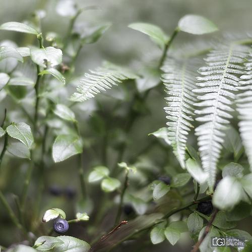 Myrtilles des marais  - Vaccinium uliginosum  [Bilberries]