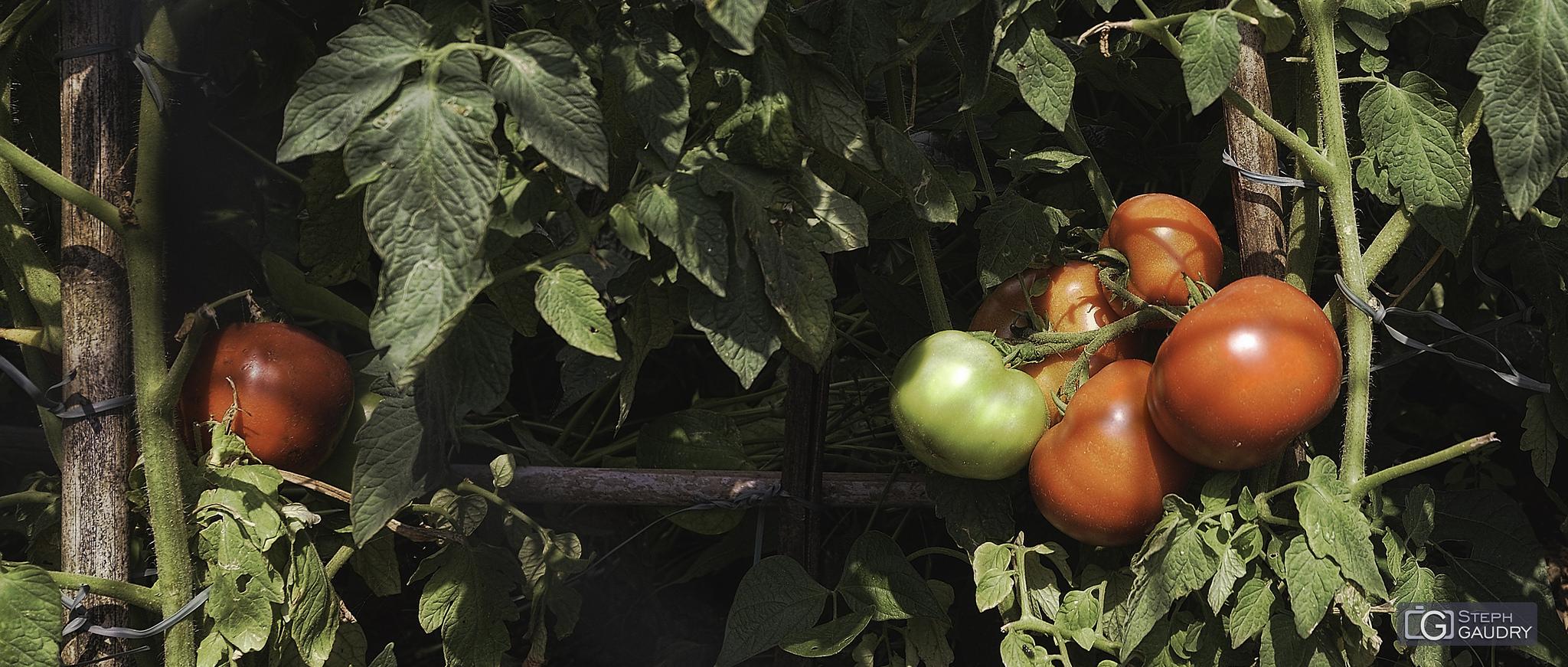 Pomodoro, figlio del sole [Cliquez pour lancer le diaporama]