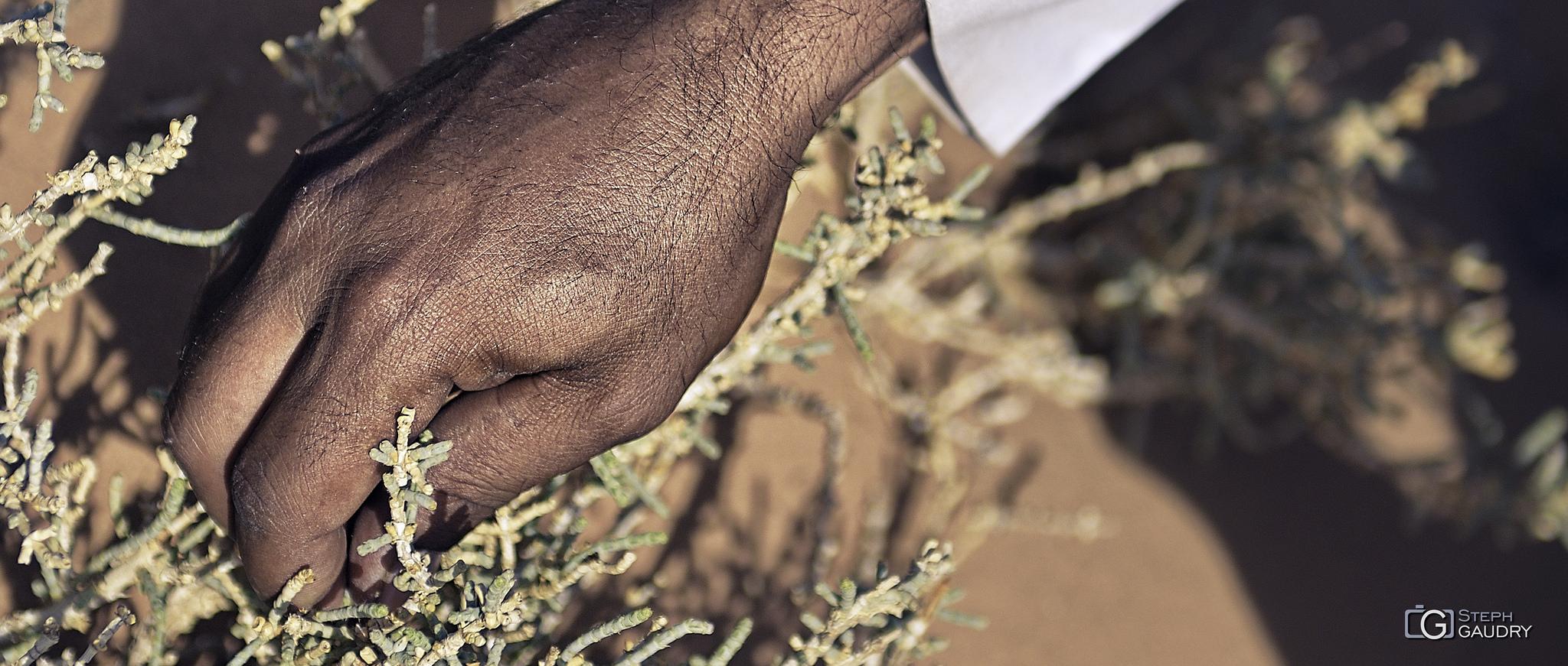 Récolte du savon du désert dans le Wari-Rum en Jordanie