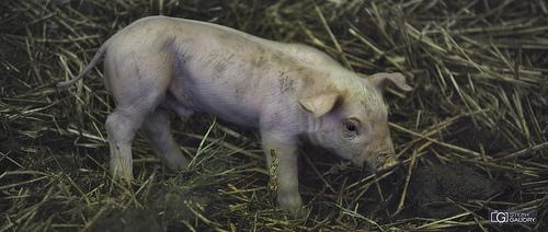 Babe; tout est bon dans le cochon...