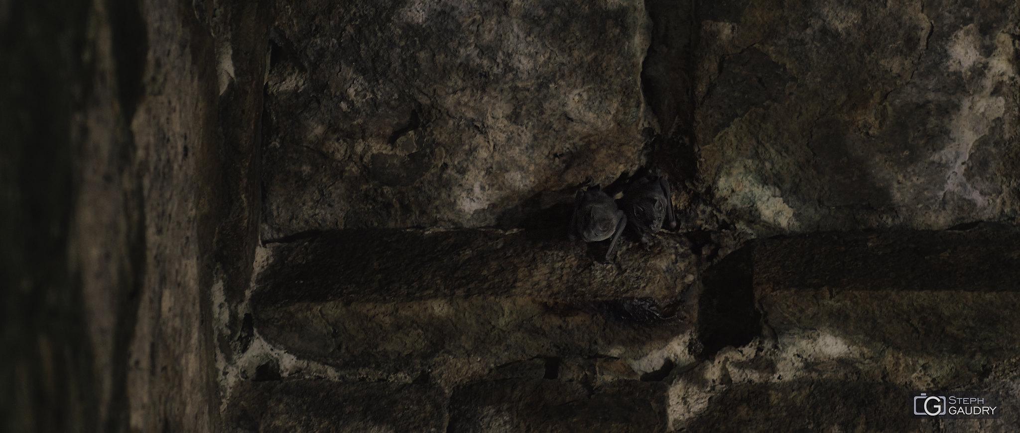 Les chauves-souris dans les ruines d'Uxmal  [Cliquez pour lancer le diaporama]