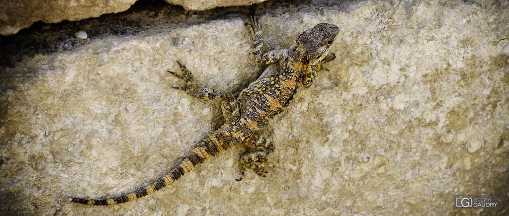 Un lézard dans les ruines de Jerash