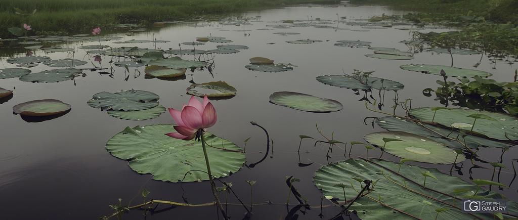 hoa loa kèn nước